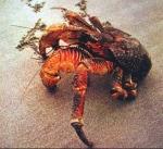 kepiting-kenari-2