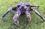 kepiting-kenari-3